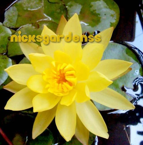 Exotic yellow water lily plant fresh flowers plants trees exotic yellow water lily plant mightylinksfo