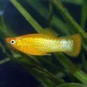 Yellow Molly Fish