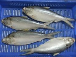 Fresh Hilsa Fish