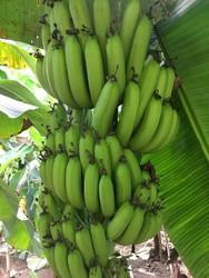 A Grade Maharashtra Green Banana, Packaging Type: Loose