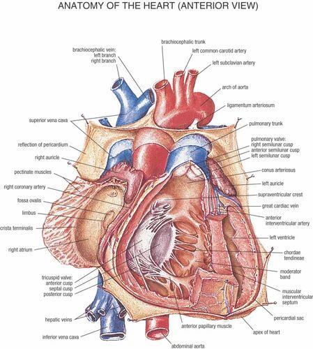 Mixed Colour Heart Anatomy Chart Spectrum Impex Kolkata Id 13973386433