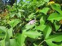 Passiflora Incarnata Leaves