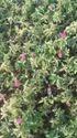 Bougainvillea Garden Shiw Planta