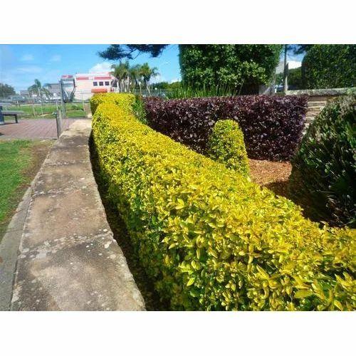 golden duranta plant  Golden Duranta Shrub at Rs 8 /piece(s) | Shrub Plant | ID: 12089092848