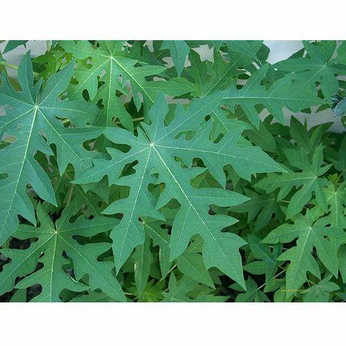 Carica Papaya Leaf Extract
