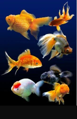 Feng Shui Gold Fish Tank