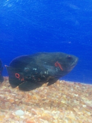 Black Oscar Fish