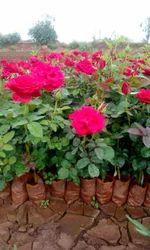 Top Secret Dutcg Rose Plants