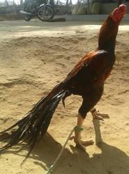 Aseel Fighter Hen