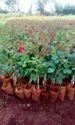 Top Secret Dutch Rose Plant