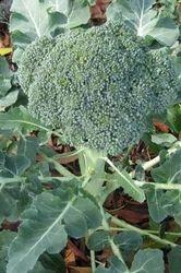 Broccoli Veg Hybrid Seeds