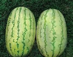 NS-295 / Watermelon Seeds
