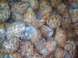 Natural Shells