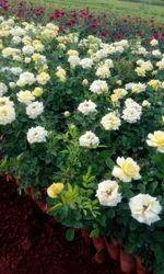 Gold Strike Dutch Rose Plants
