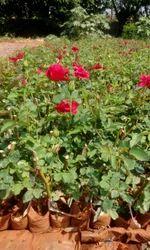 Taj Mahal( Top Secret) Dutch Rose