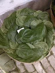 Old Betel Leaf