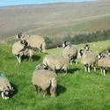 Sheep Farming Services
