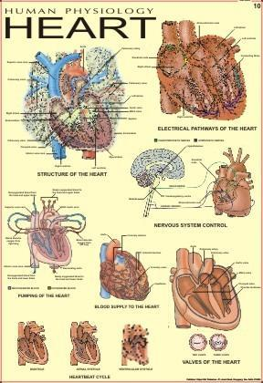 Human Anatomy Charts, Human Physiology Section - Vidya Chitr ...