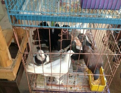 Wholesaler Of Pigeons Cage Love Birds Cage By Divya Aquarium Pets Chennai