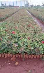 Red Poly House Rose Plants