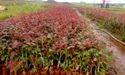 Carwhety Dutch Rose Plants