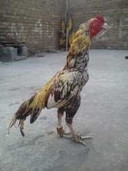 Aseel Breed Male Chicken