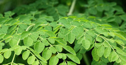 100% Pure Moringa Leaves