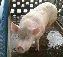 Male White Pig Farm