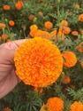 Royal Orange F-1 Hybrid Marigold Seeds
