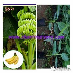 Banana Kala G-9 Plant
