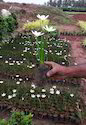 Zepranthes Lily White