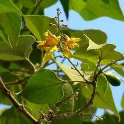 Gameliria Arborea - Gambhari Extract