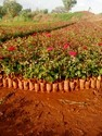 Taj Mahal Rose Plants