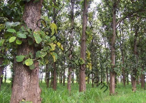 Ghana Teak White Teak Wood Plant Eagles Academy For