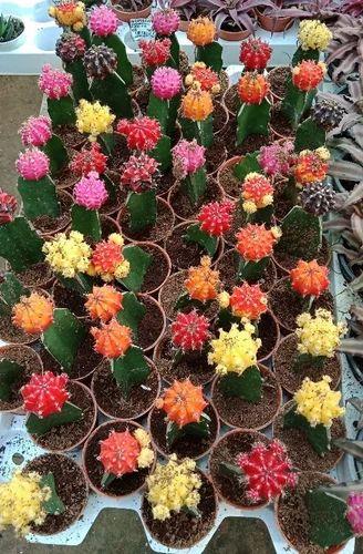 Flowering Plant - Pansutiya Plant Producers from New Delhi