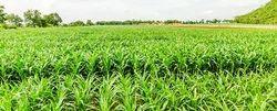 Outdoor Farming Consultancy Service