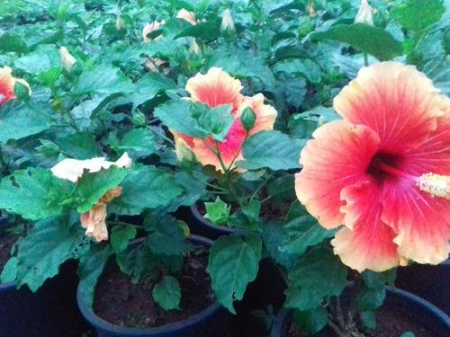 Hardy Hibiscus Plant At Rs 8 Piece Decorative Plant Id 12509930248