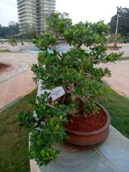 Outdoor Bonsai Plants