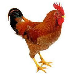 Hen - Wholesale Price for Hen in India