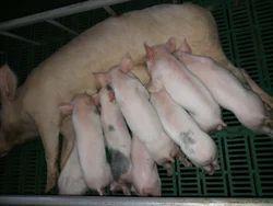 Newborn Farm Pig
