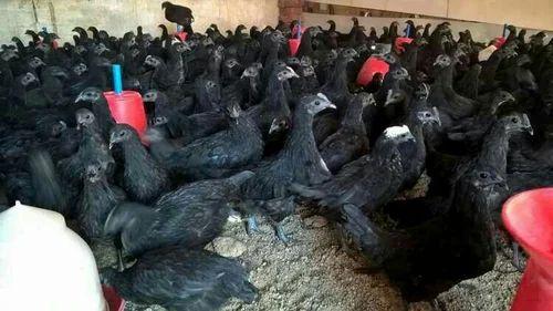 Both Kadaknath Chicken, Rs 240 /kilogram, Daulat Breeding Farms ...