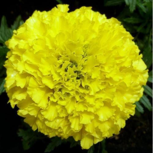 Natural yellow marigold flower yellow marigold flowers flower natural yellow marigold flower mightylinksfo