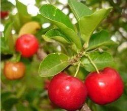 Barbados Cherry Plant