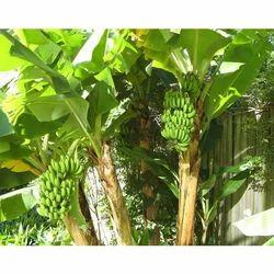 Tissue Culture Banana G-9 Plant