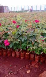 Top Secret/ Taj Mahal  Rose Plants