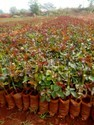 Top Secret ( Taj Mahal) Dutch Rose Plants