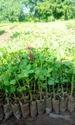 Glyadiator Plants