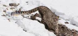 Snowleopard Trek