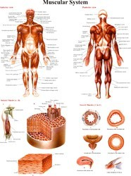 Muscular System - Anatomy Charts