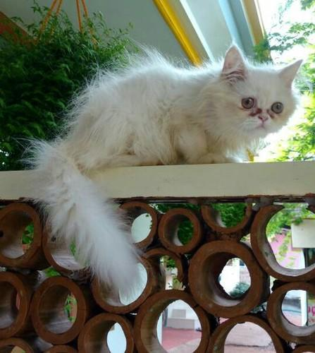 Persian cat buy delhi